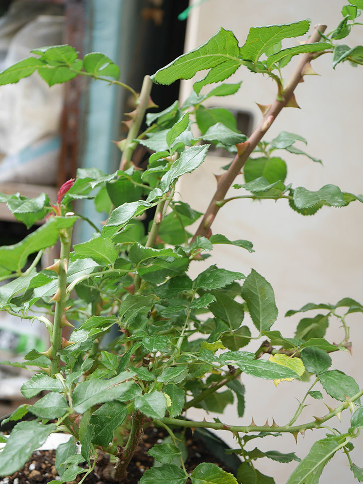 ランタン・シトロイユ(Lanterne Citrouille)を8号ロング鉢に植え換えた。2020年-009.jpg