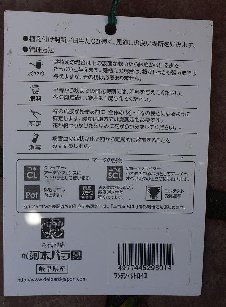 ランタン・シトロイユ(Lanterne Citrouille)をはなはなショップで買った。半ツルバラ。2020年-014.jpg