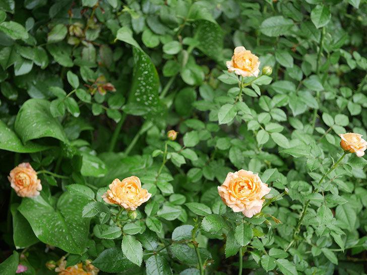 ラ・ドルチェ・ヴィータ(La Dolce Vita)の2番花がたくさん咲いた。木立バラ。2020年-001.jpg