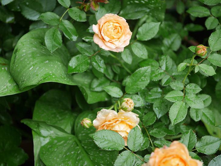 ラ・ドルチェ・ヴィータ(La Dolce Vita)の2番花がたくさん咲いた。木立バラ。2020年-002.jpg