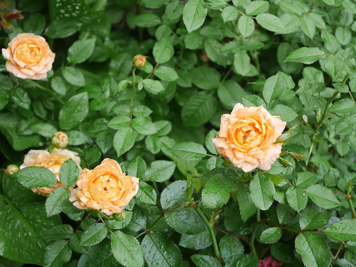 ラ・ドルチェ・ヴィータ(La Dolce Vita)の2番花がたくさん咲いた。木立バラ。2020年-003.jpg