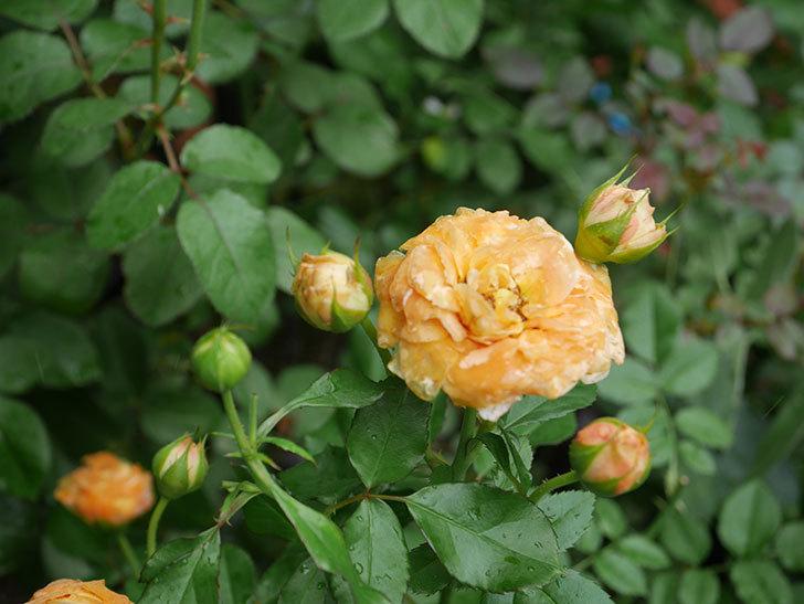 ラ・ドルチェ・ヴィータ(La Dolce Vita)の2番花がたくさん咲いた。木立バラ。2020年-004.jpg