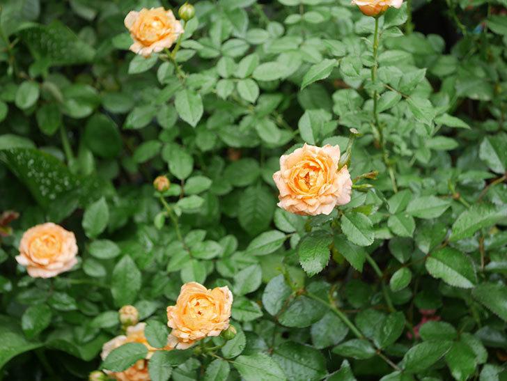 ラ・ドルチェ・ヴィータ(La Dolce Vita)の2番花がたくさん咲いた。木立バラ。2020年-005.jpg