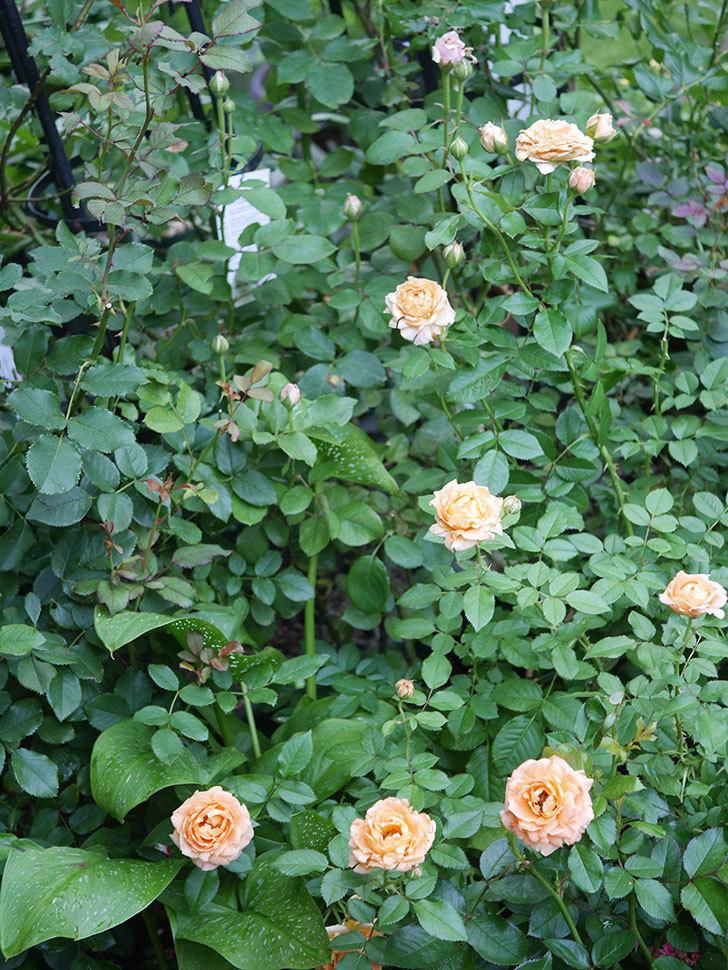 ラ・ドルチェ・ヴィータ(La Dolce Vita)の2番花がたくさん咲いた。木立バラ。2020年-006.jpg