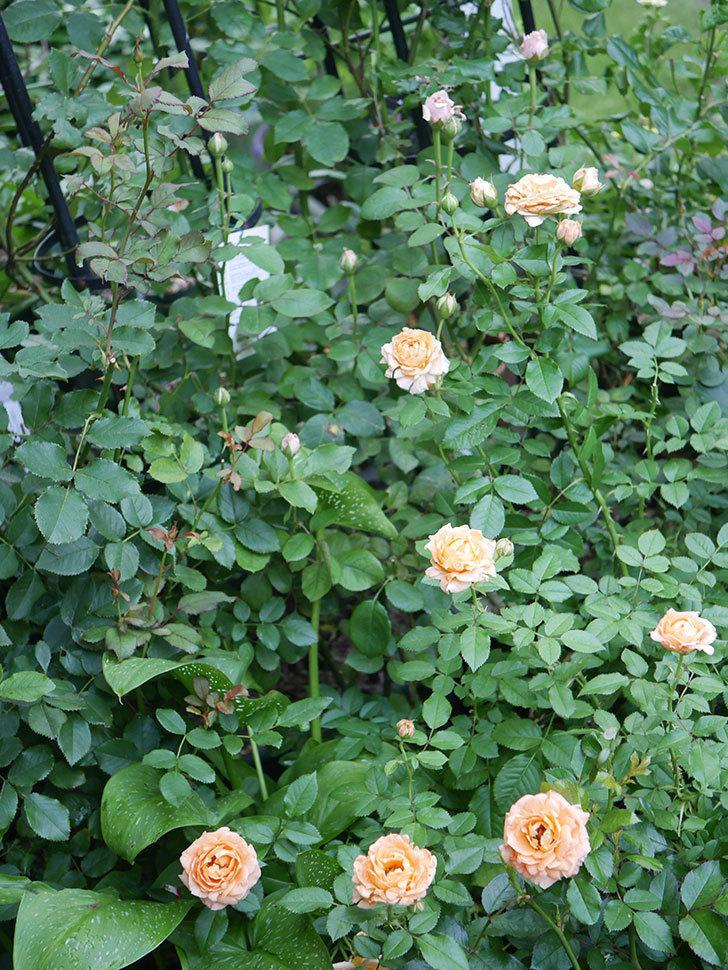 ラ・ドルチェ・ヴィータ(La Dolce Vita)の2番花がたくさん咲いた。木立バラ。2020年-007.jpg