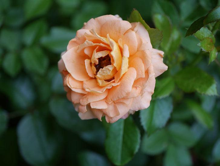 ラ・ドルチェ・ヴィータ(La Dolce Vita)の2番花がたくさん咲いた。木立バラ。2020年-008.jpg