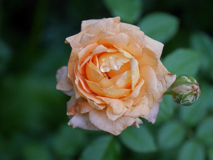 ラ・ドルチェ・ヴィータ(La Dolce Vita)の2番花がたくさん咲いた。木立バラ。2020年-009.jpg
