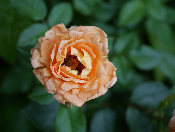 ラ・ドルチェ・ヴィータ(La Dolce Vita)の2番花がたくさん咲いた。木立バラ。2020年-010.jpg