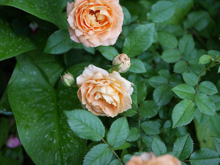 ラ・ドルチェ・ヴィータ(La Dolce Vita)の2番花がたくさん咲いた。木立バラ。2020年-011.jpg