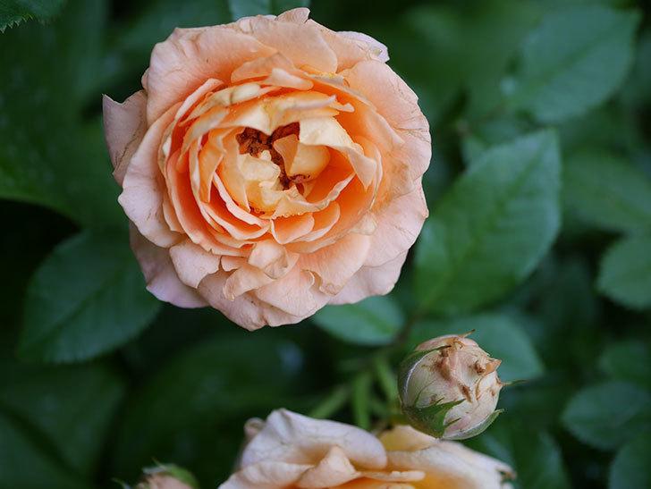 ラ・ドルチェ・ヴィータ(La Dolce Vita)の2番花がたくさん咲いた。木立バラ。2020年-012.jpg