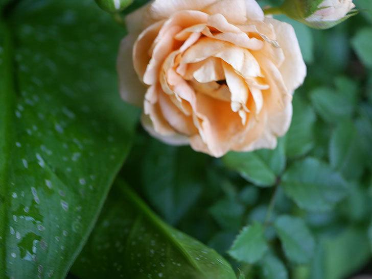 ラ・ドルチェ・ヴィータ(La Dolce Vita)の2番花がたくさん咲いた。木立バラ。2020年-013.jpg
