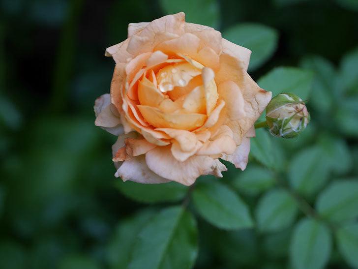 ラ・ドルチェ・ヴィータ(La Dolce Vita)の2番花がたくさん咲いた。木立バラ。2020年-014.jpg
