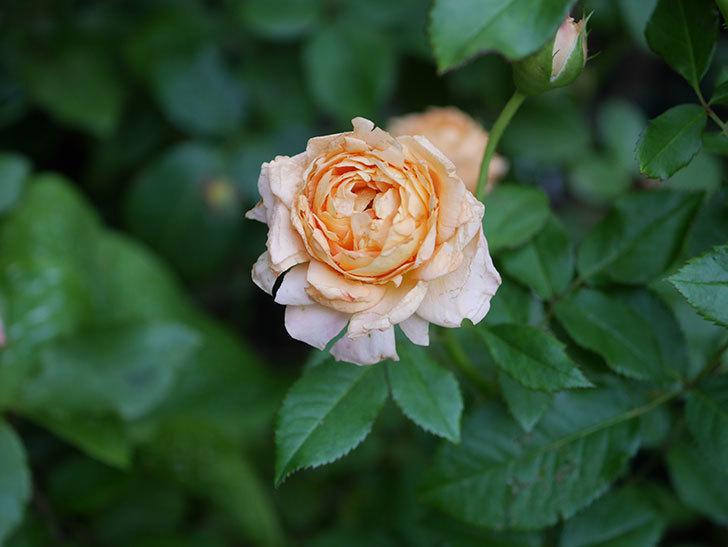 ラ・ドルチェ・ヴィータ(La Dolce Vita)の2番花がたくさん咲いた。木立バラ。2020年-015.jpg
