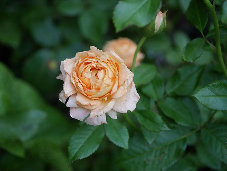 ラ・ドルチェ・ヴィータ(La Dolce Vita)の2番花がたくさん咲いた。木立バラ。2020年-016.jpg
