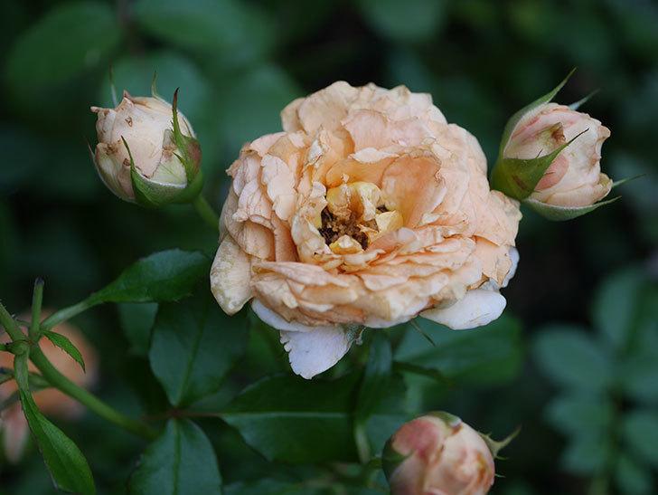 ラ・ドルチェ・ヴィータ(La Dolce Vita)の2番花がたくさん咲いた。木立バラ。2020年-017.jpg