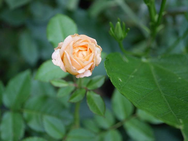 ラ・ドルチェ・ヴィータ(La Dolce Vita)の2番花がたくさん咲いた。木立バラ。2020年-018.jpg