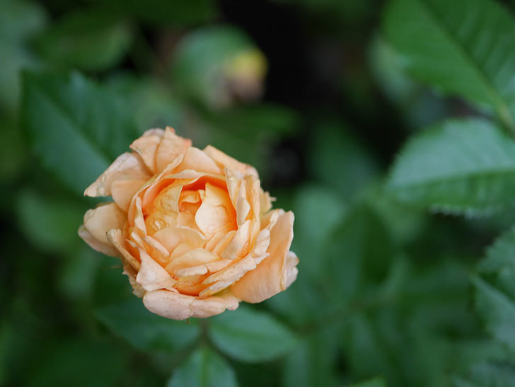 ラ・ドルチェ・ヴィータ(La Dolce Vita)の2番花がたくさん咲いた。木立バラ。2020年-019.jpg