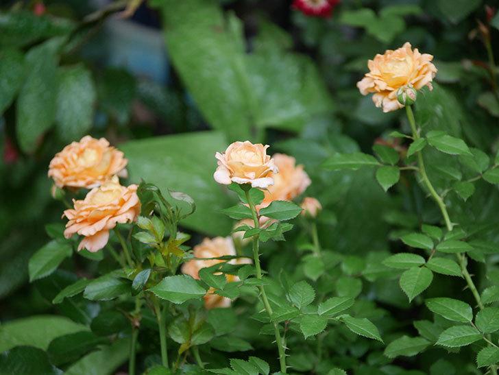 ラ・ドルチェ・ヴィータ(La Dolce Vita)の2番花がたくさん咲いた。木立バラ。2020年-020.jpg