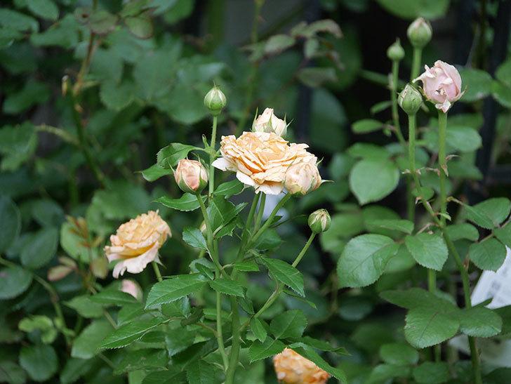 ラ・ドルチェ・ヴィータ(La Dolce Vita)の2番花がたくさん咲いた。木立バラ。2020年-021.jpg
