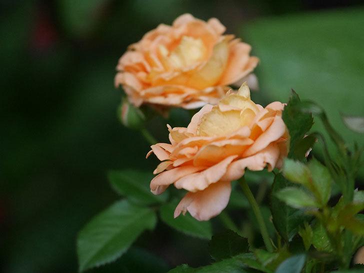 ラ・ドルチェ・ヴィータ(La Dolce Vita)の2番花がたくさん咲いた。木立バラ。2020年-022.jpg