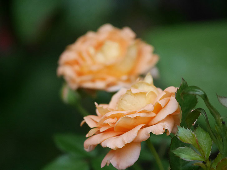 ラ・ドルチェ・ヴィータ(La Dolce Vita)の2番花がたくさん咲いた。木立バラ。2020年-023.jpg