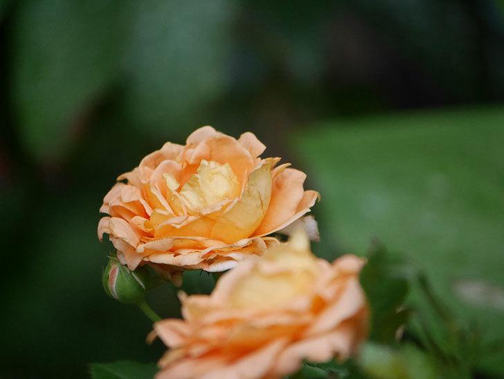 ラ・ドルチェ・ヴィータ(La Dolce Vita)の2番花がたくさん咲いた。木立バラ。2020年-024.jpg