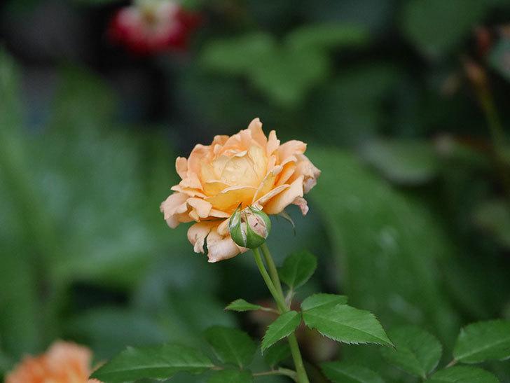 ラ・ドルチェ・ヴィータ(La Dolce Vita)の2番花がたくさん咲いた。木立バラ。2020年-025.jpg