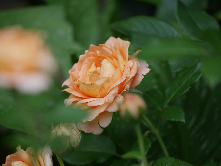ラ・ドルチェ・ヴィータ(La Dolce Vita)の2番花がたくさん咲いた。木立バラ。2020年-026.jpg