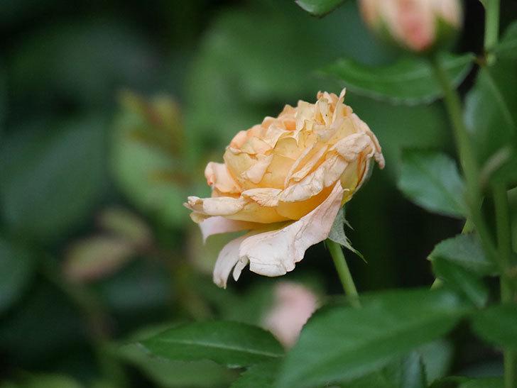 ラ・ドルチェ・ヴィータ(La Dolce Vita)の2番花がたくさん咲いた。木立バラ。2020年-027.jpg