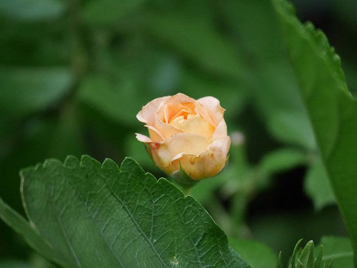 ラ・ドルチェ・ヴィータ(La Dolce Vita)の2番花がたくさん咲いた。木立バラ。2020年-028.jpg