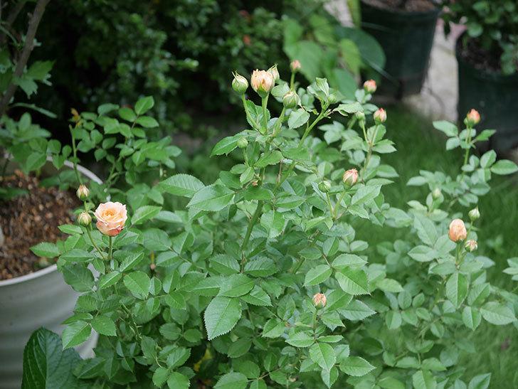 ラ・ドルチェ・ヴィータ(La Dolce Vita)の2番花が咲いた。木立バラ。2020年-001.jpg