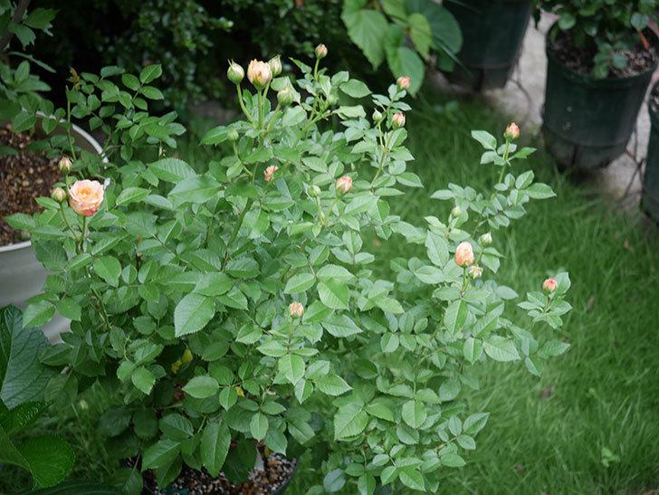 ラ・ドルチェ・ヴィータ(La Dolce Vita)の2番花が咲いた。木立バラ。2020年-002.jpg