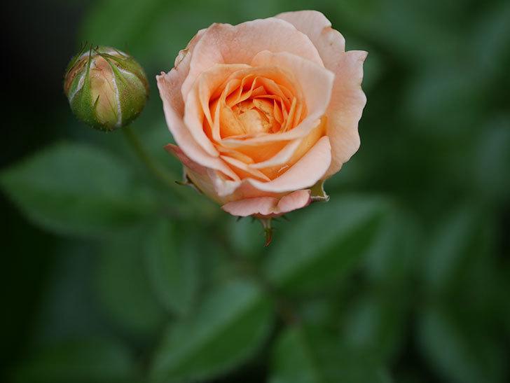 ラ・ドルチェ・ヴィータ(La Dolce Vita)の2番花が咲いた。木立バラ。2020年-003.jpg