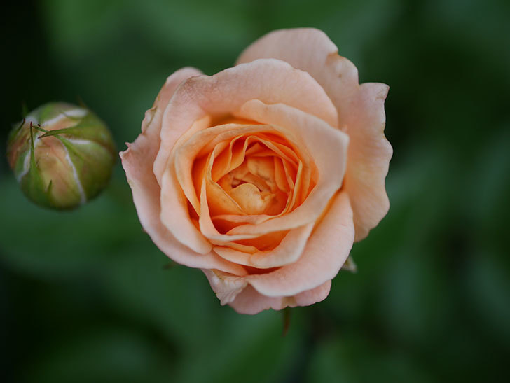 ラ・ドルチェ・ヴィータ(La Dolce Vita)の2番花が咲いた。木立バラ。2020年-004.jpg