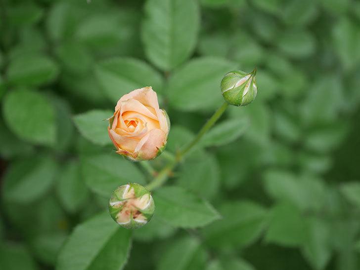 ラ・ドルチェ・ヴィータ(La Dolce Vita)の2番花が咲いた。木立バラ。2020年-005.jpg