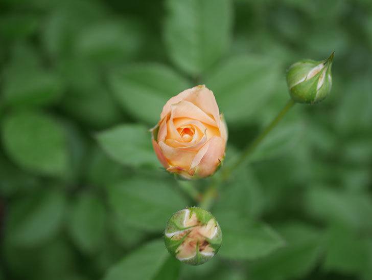 ラ・ドルチェ・ヴィータ(La Dolce Vita)の2番花が咲いた。木立バラ。2020年-006.jpg