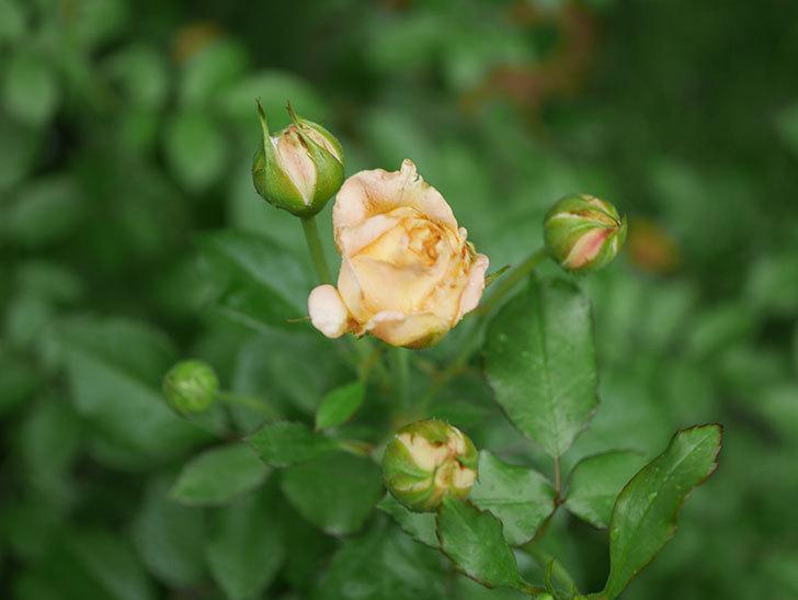 ラ・ドルチェ・ヴィータ(La Dolce Vita)の2番花が咲いた。木立バラ。2020年-010.jpg