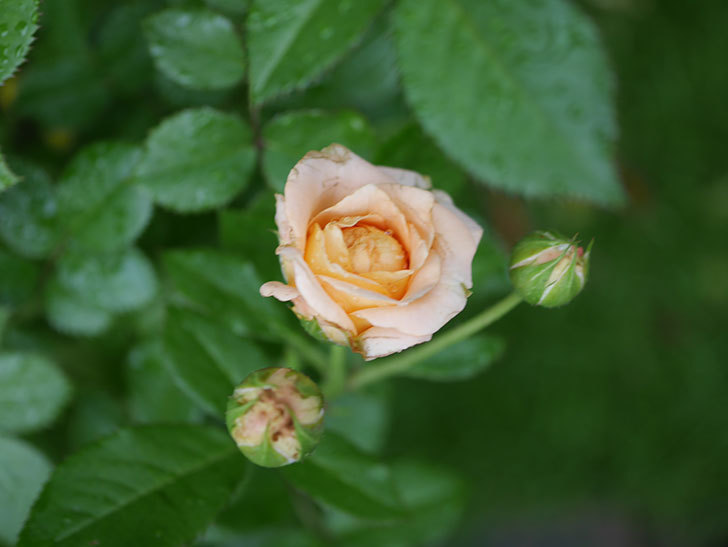 ラ・ドルチェ・ヴィータ(La Dolce Vita)の2番花が咲いた。木立バラ。2020年-011.jpg