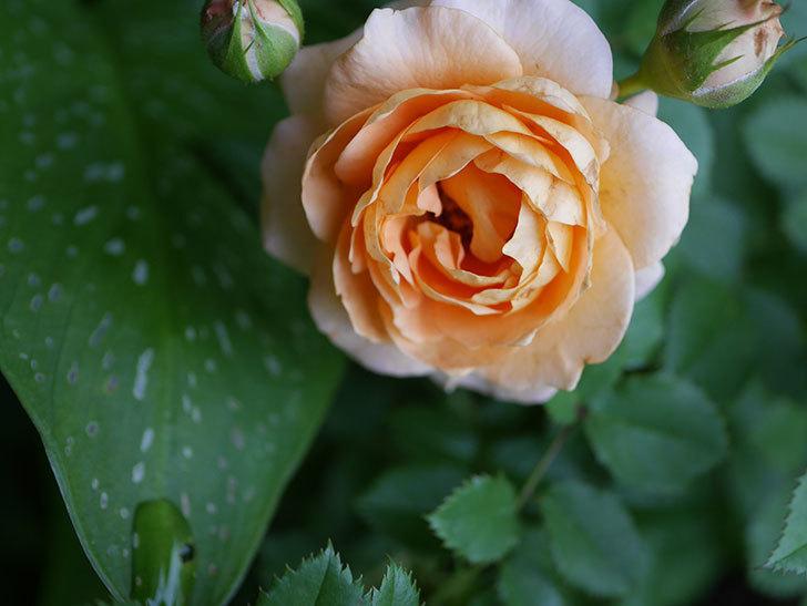 ラ・ドルチェ・ヴィータ(La Dolce Vita)の2番花が増えてきた。木立バラ。2020年-001.jpg