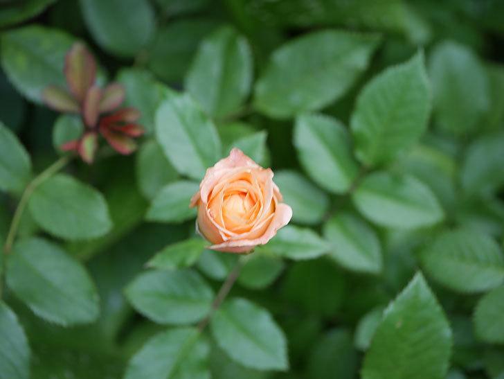 ラ・ドルチェ・ヴィータ(La Dolce Vita)の2番花が増えてきた。木立バラ。2020年-003.jpg