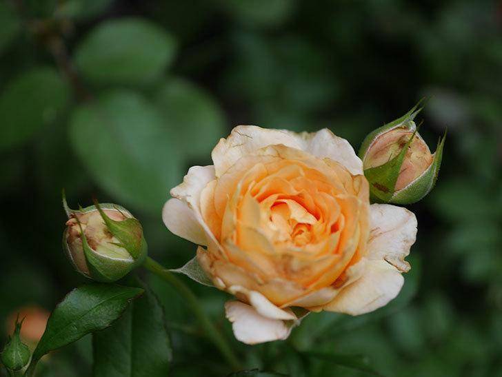 ラ・ドルチェ・ヴィータ(La Dolce Vita)の2番花が増えてきた。木立バラ。2020年-004.jpg