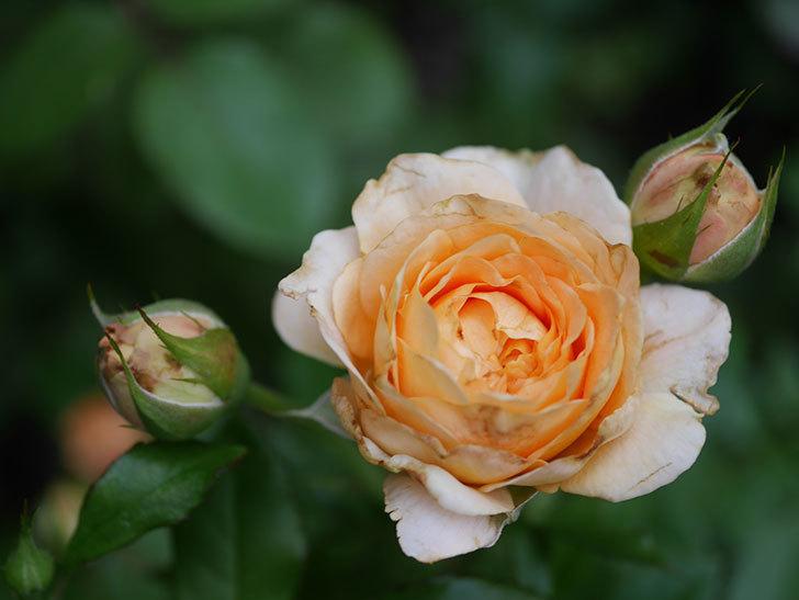 ラ・ドルチェ・ヴィータ(La Dolce Vita)の2番花が増えてきた。木立バラ。2020年-005.jpg
