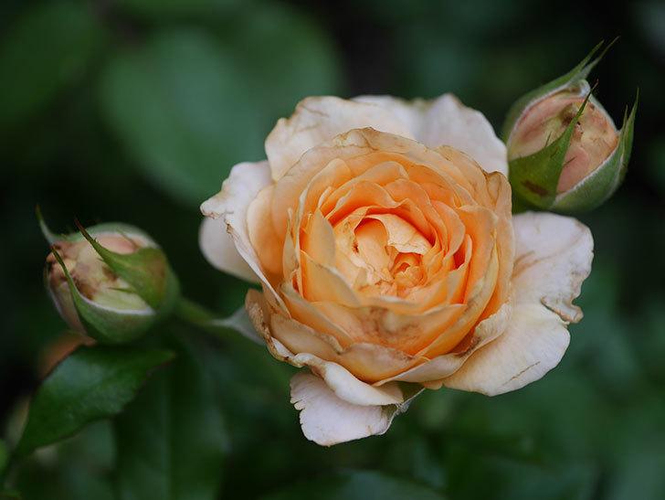 ラ・ドルチェ・ヴィータ(La Dolce Vita)の2番花が増えてきた。木立バラ。2020年-006.jpg