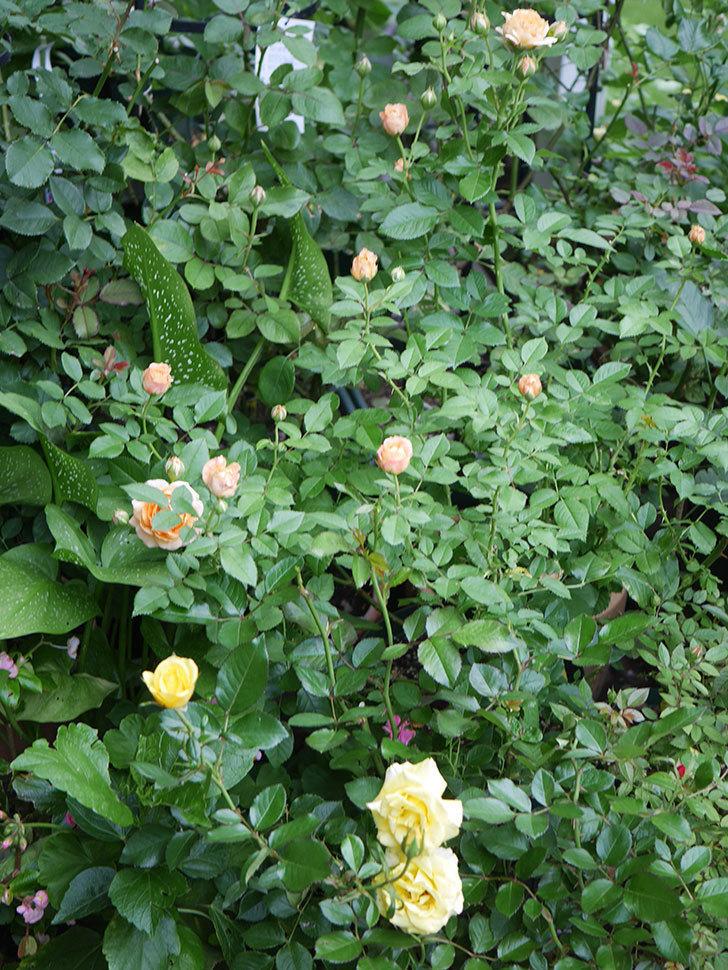 ラ・ドルチェ・ヴィータ(La Dolce Vita)の2番花が増えてきた。木立バラ。2020年-007.jpg