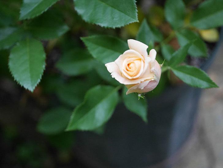 ラ・ドルチェ・ヴィータ(La Dolce Vita)の2番花が少し咲いた。木立バラ。2020年-001.jpg