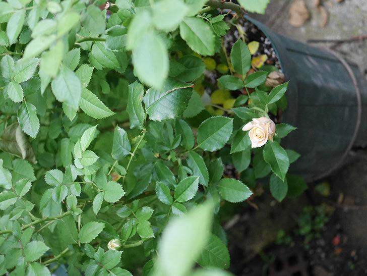 ラ・ドルチェ・ヴィータ(La Dolce Vita)の2番花が少し咲いた。木立バラ。2020年-003.jpg