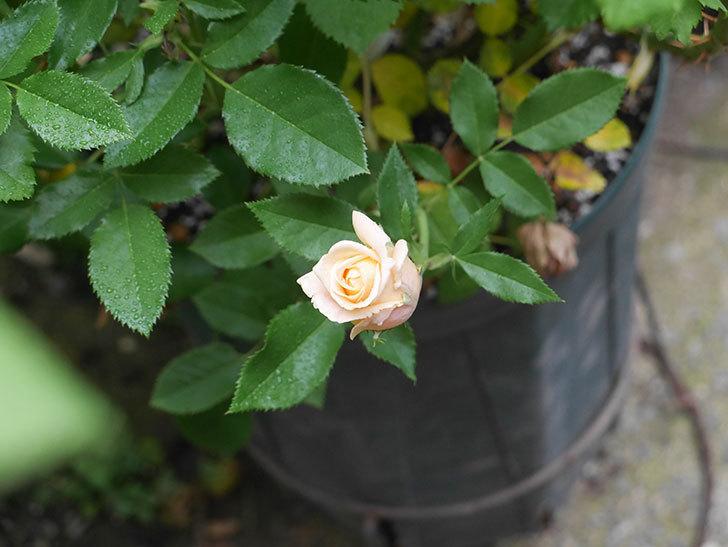 ラ・ドルチェ・ヴィータ(La Dolce Vita)の2番花が少し咲いた。木立バラ。2020年-004.jpg