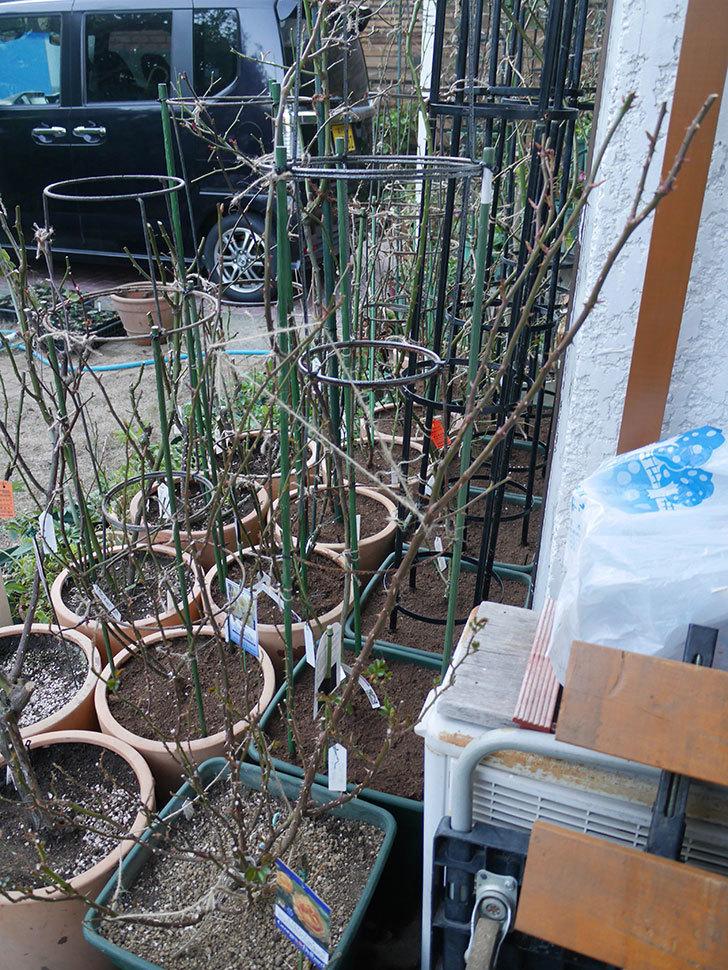 ラ・ドルチェ・ヴィータ(La Dolce Vita)の冬剪定をした。木立バラ。2021年-003.jpg
