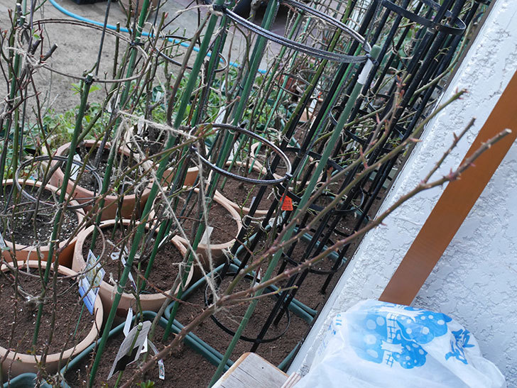 ラ・ドルチェ・ヴィータ(La Dolce Vita)の冬剪定をした。木立バラ。2021年-006.jpg