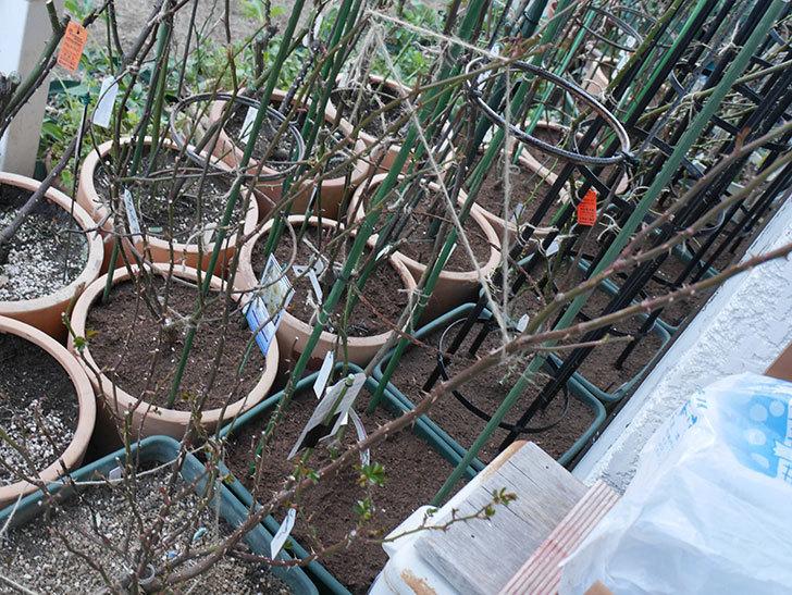 ラ・ドルチェ・ヴィータ(La Dolce Vita)の冬剪定をした。木立バラ。2021年-007.jpg